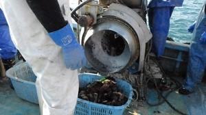 131205 ③収穫された2年牡蠣2013-12-01 00.06.32