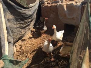 20161006_JD_02_Two ducks in the garden